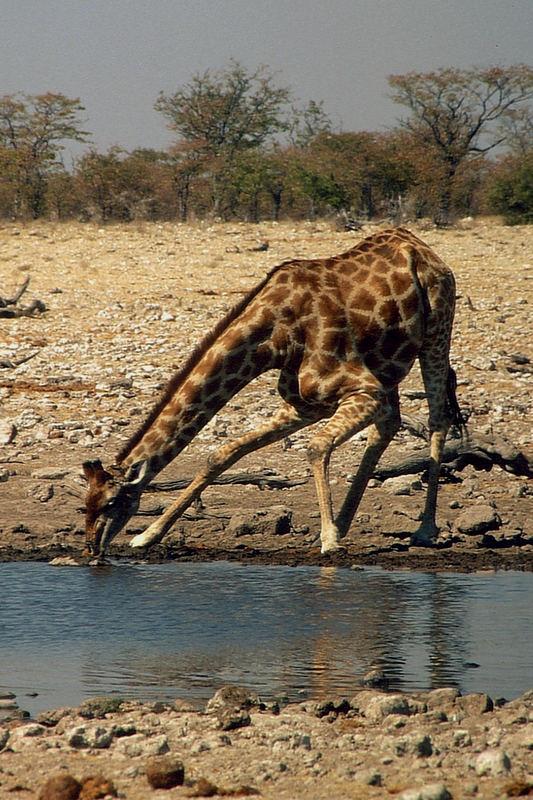Namibia: Etosha - Giraffe