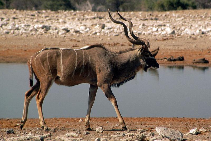 Namibia: Etosha - Kudu