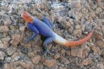 Namibia - Gecko