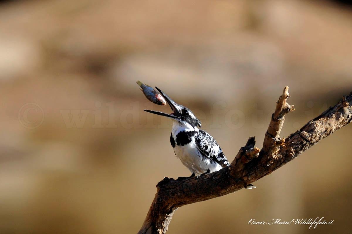 Namibia , King Fisher