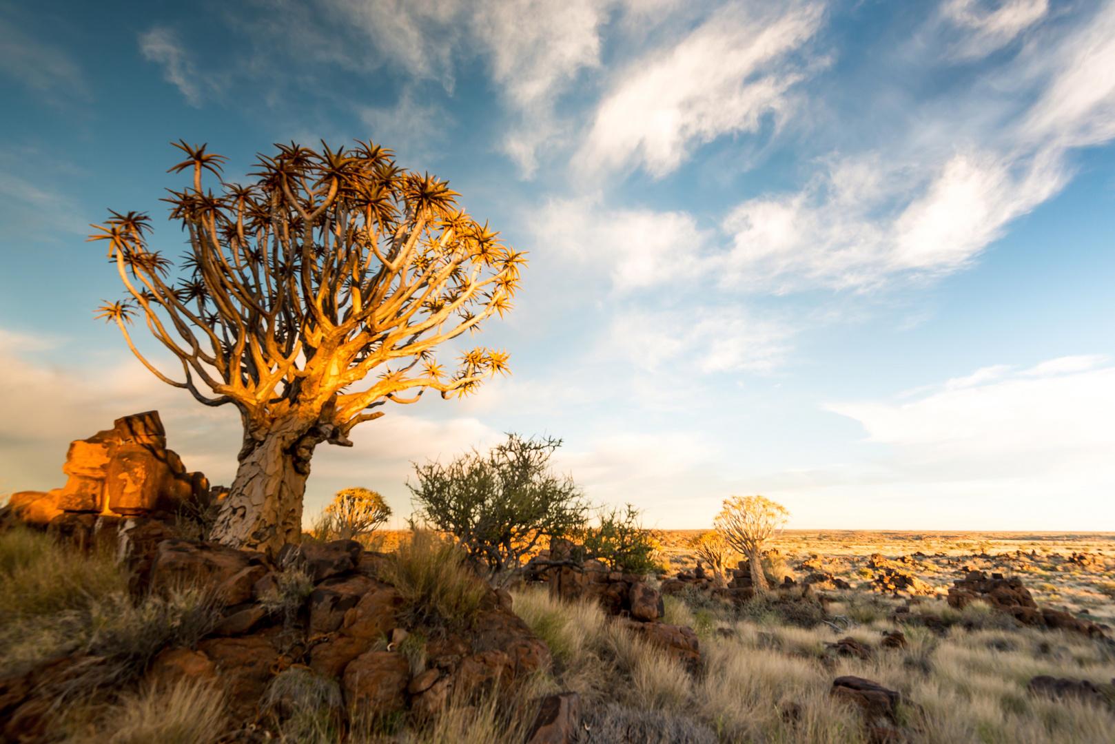 Namibia Köcherbaum