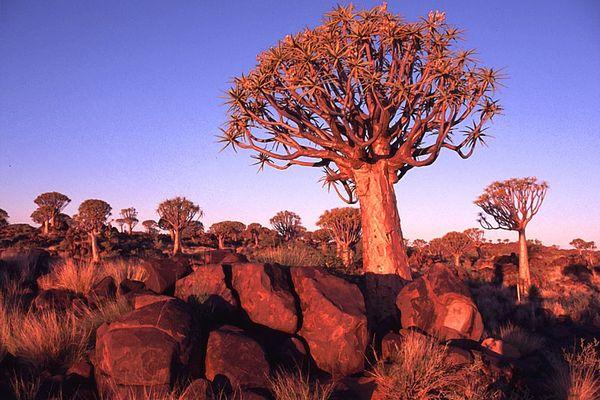 NAMIBIA: Köcherbaumwald in abendlichem Licht