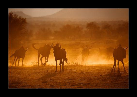 Namibia LI - Blue Wildebeest