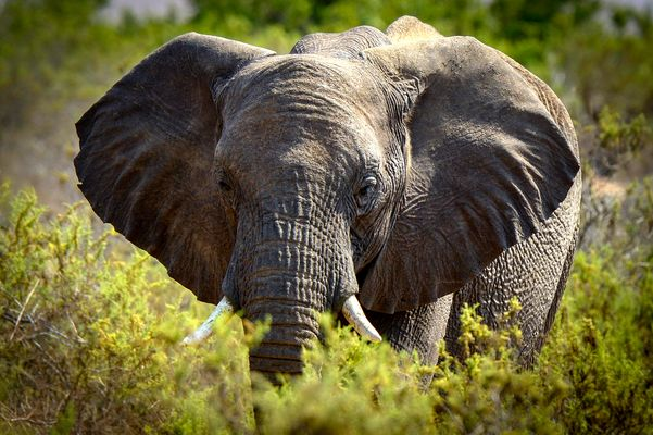 Namibia Oktober 2013 (Damaraland) Wüsten-Elefant