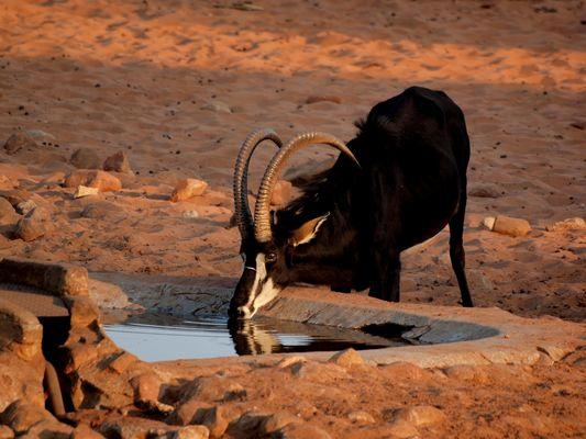 Namibia / Waterberg (Säbel- oder Rappenantilope) September 2009