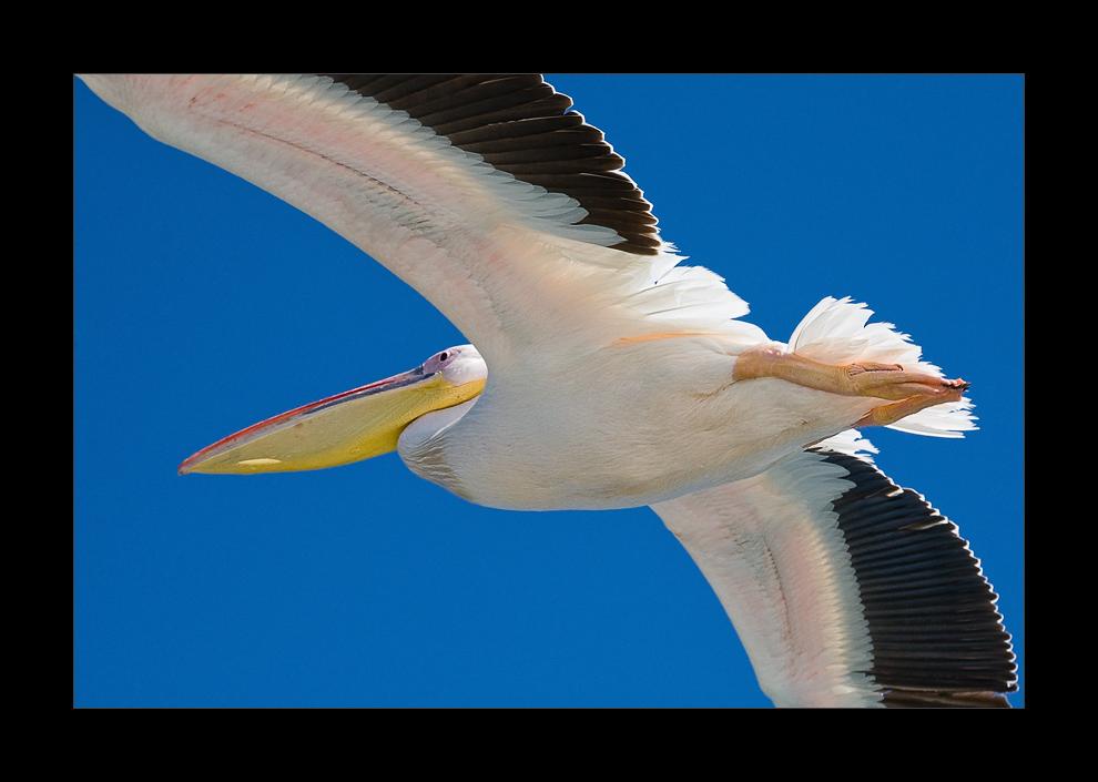 Namibia XV - Pelikan