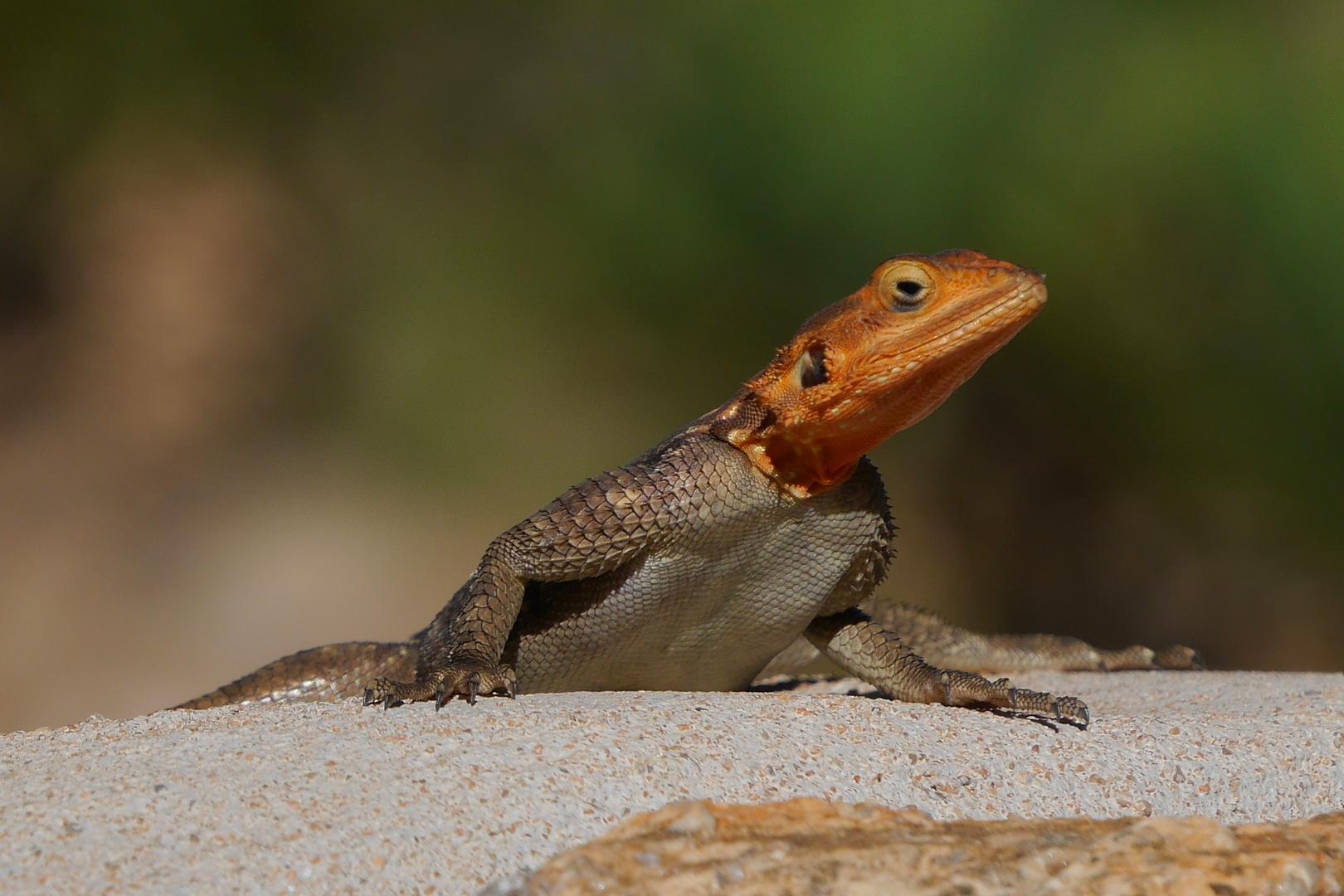 Namibische Felsenagame (Agama planiceps)