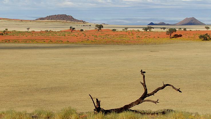 Namibischer Ast in der Steppe