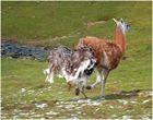 Nandu beißt und jagt Lama ...