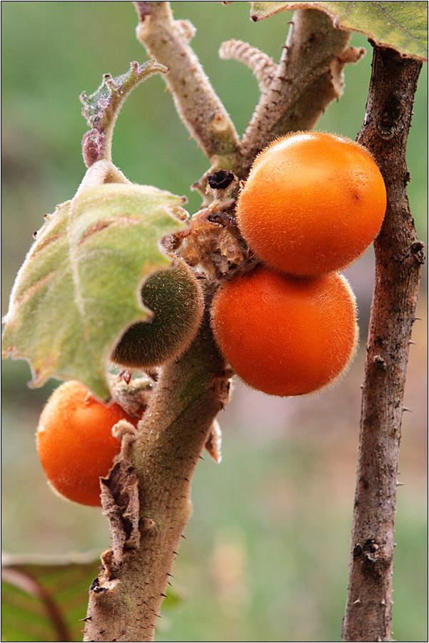 naranjilla / lulu-frucht