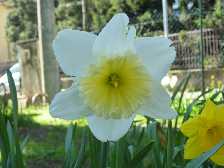 Narciso bianco e giallo paglierino foto immagini macro for Narciso giallo