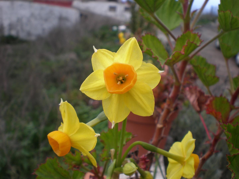 Narciso enano