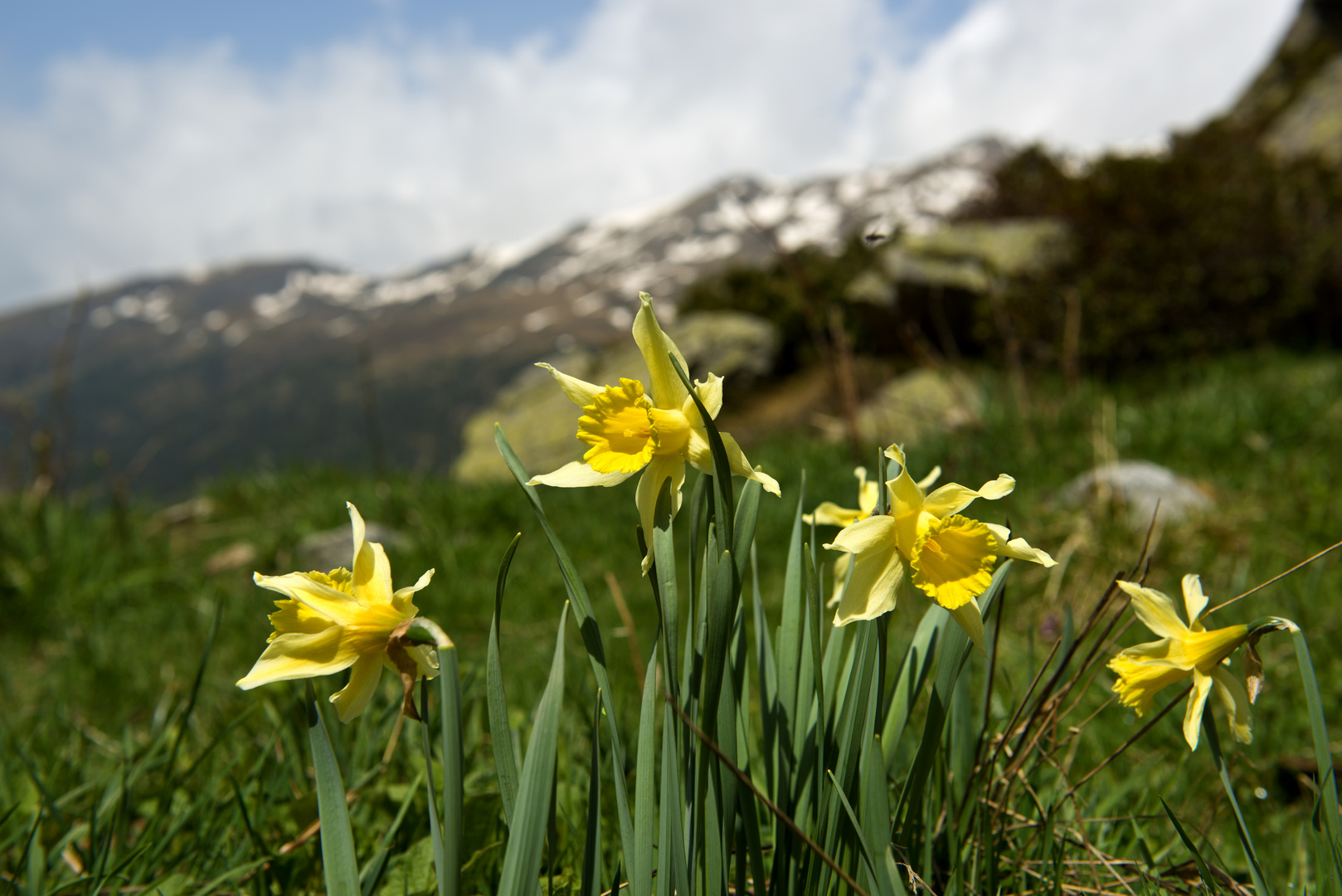 Narcisos en el pirineo
