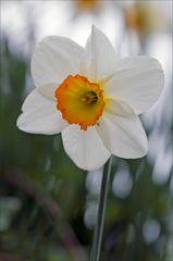 Narcisse (1)
