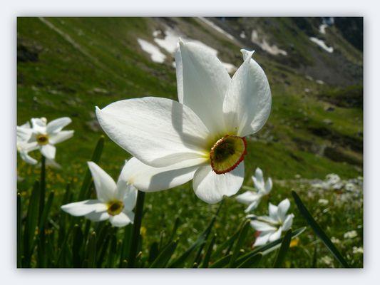 Narcisse des Poètes. ( Narcissus Poéticus )