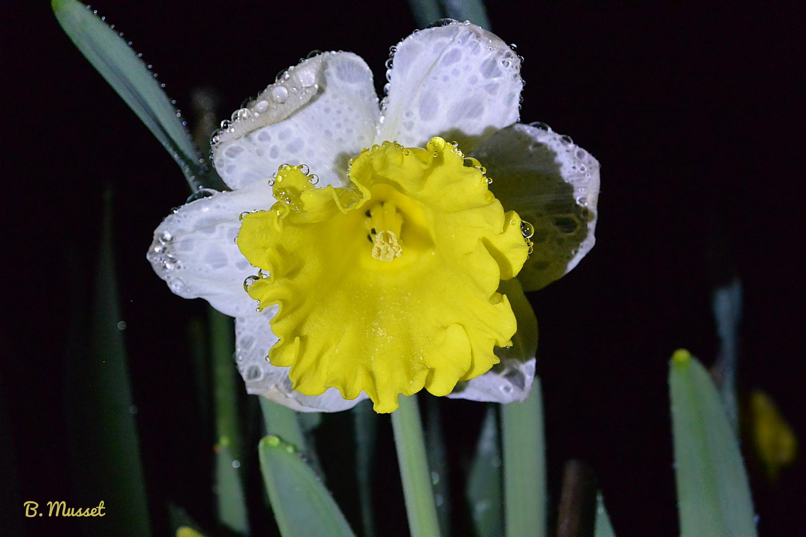 Narcisse jaune et blanc