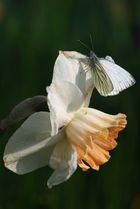 Narcisse Napi