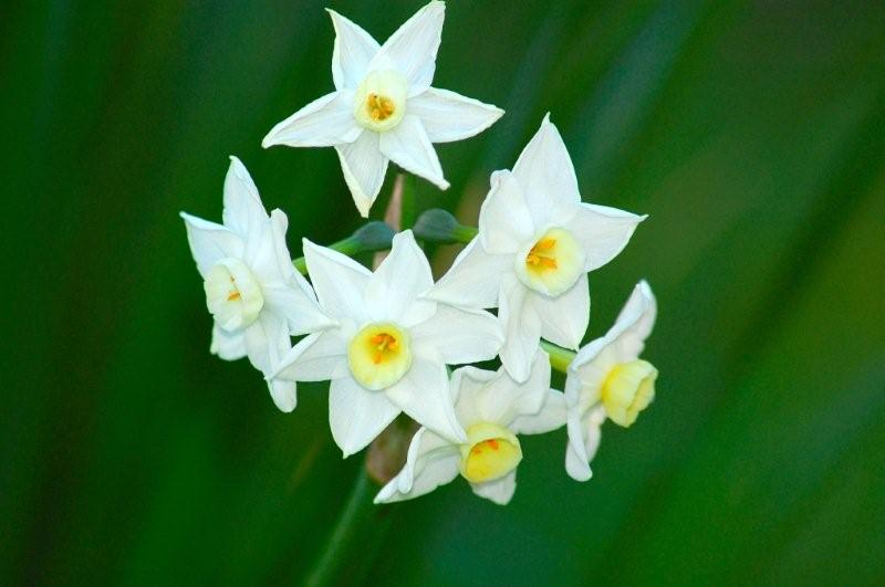 Narcisses blanches du jardin