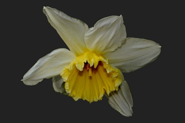 Narcissus 'incomparabilis'