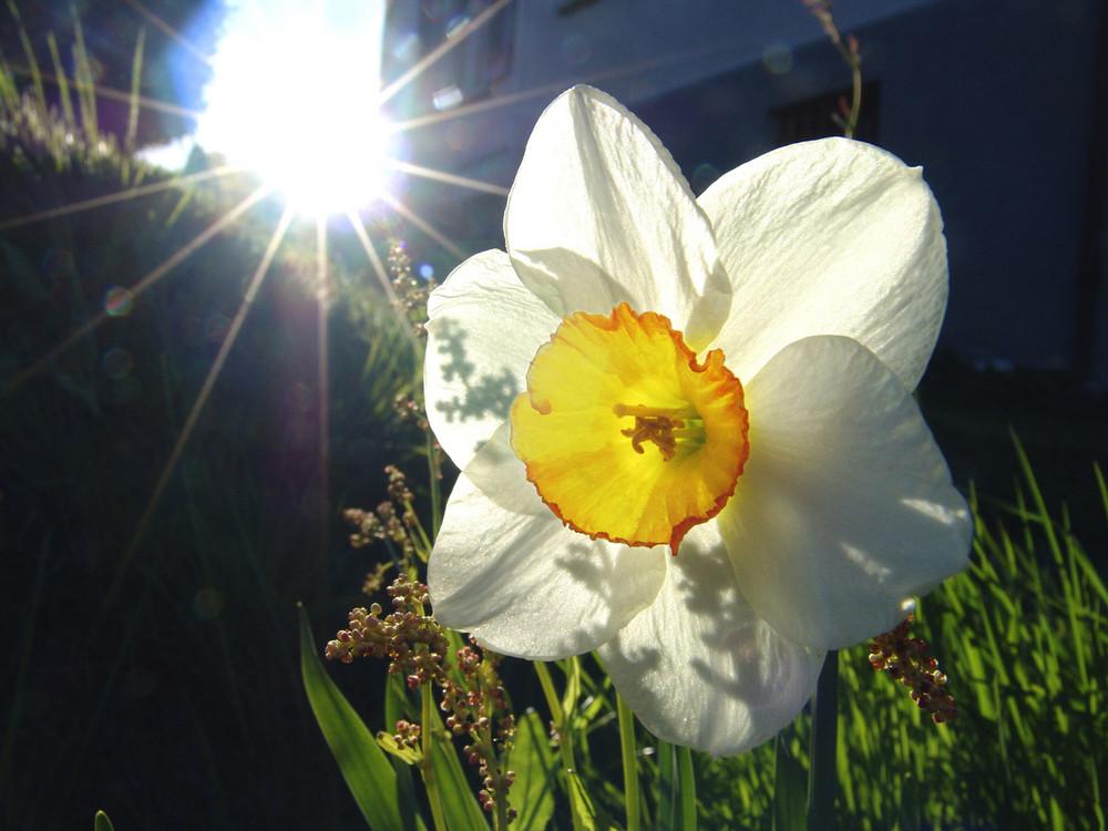 Narcissus lumen