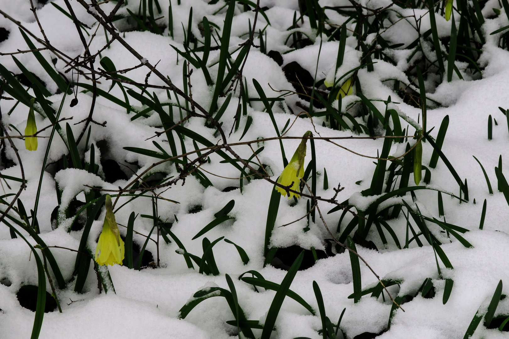 Narcissus pseudonarcissus im Winter