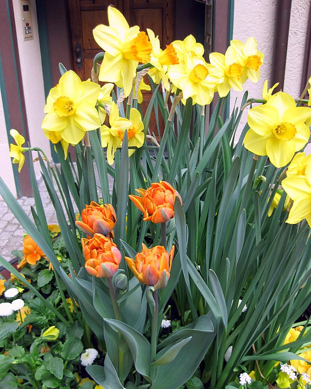 Narcissus und Tulipan...