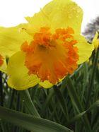 Narsisse