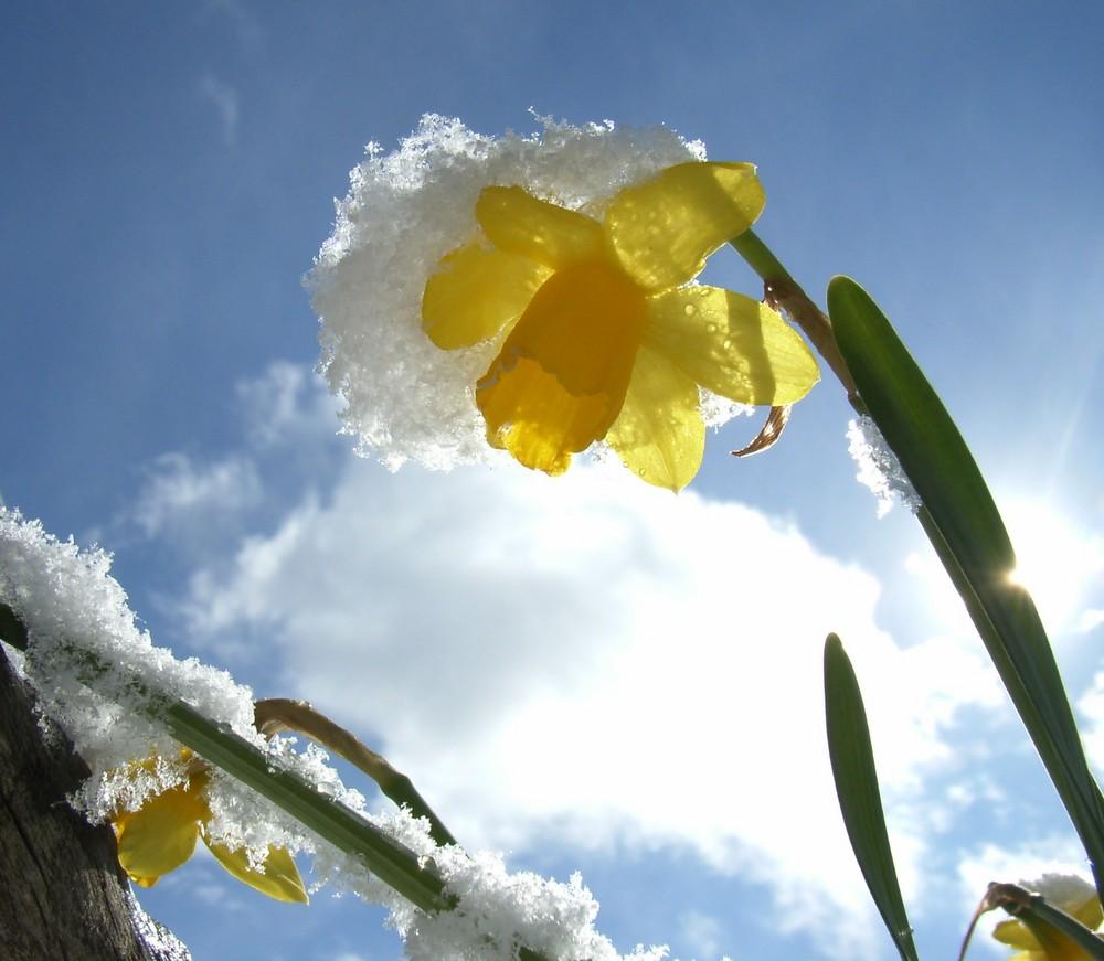 Narzisse im Schnee