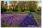 Narzissen im Schlossgarten Oldenburg II