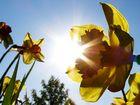 Narzissen in der Frühlingssonne