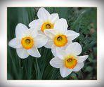 Narzissen . . . . . Narcisses