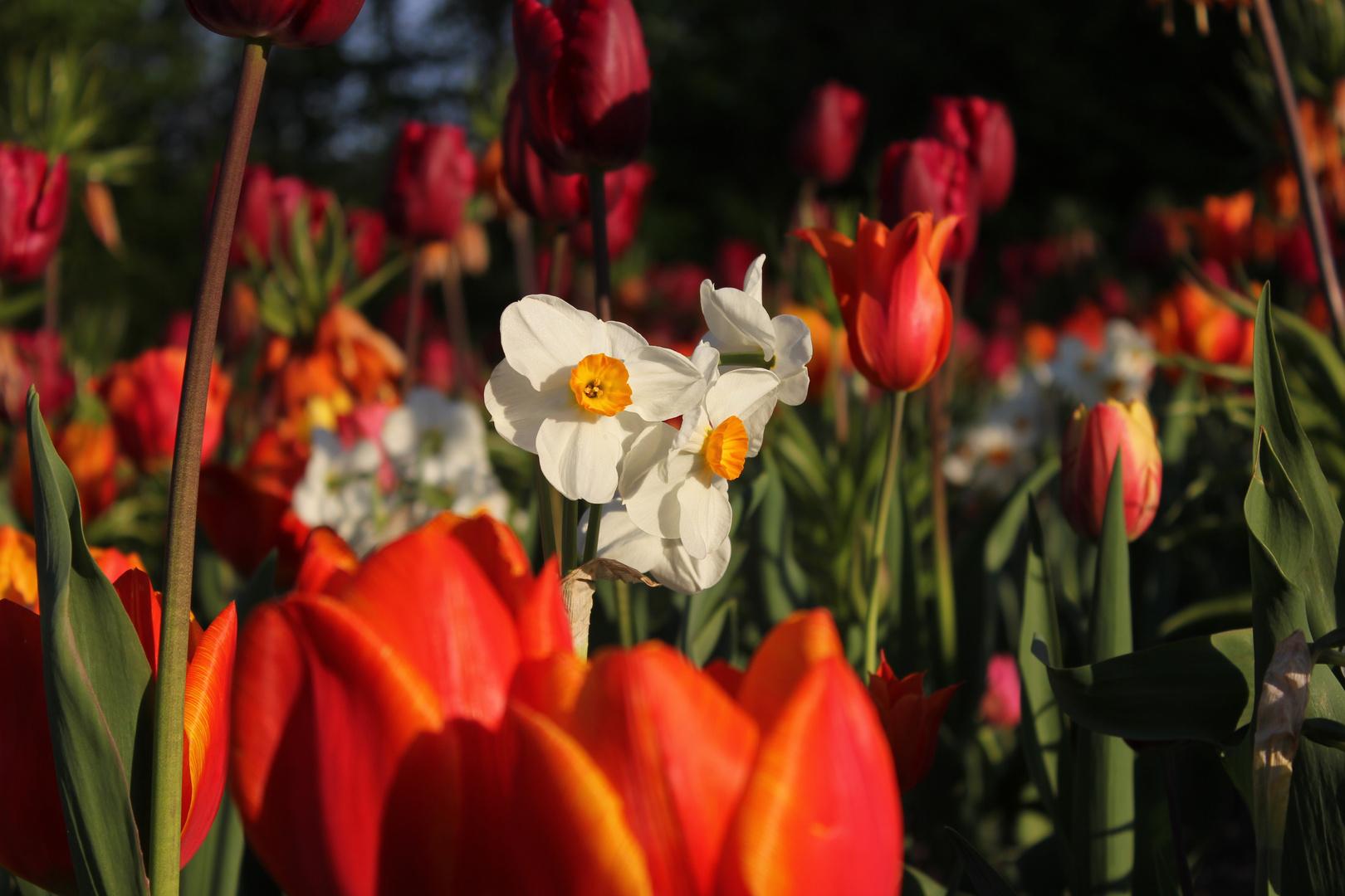 Narzissen (Narcissus) im Blütenmeer