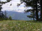 Narzissenfeld oberhalb von Seewis, Graubünden