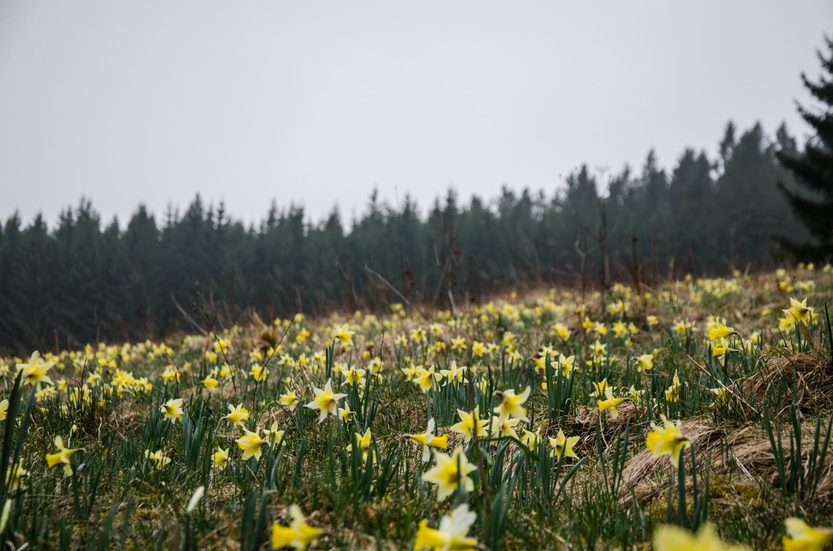 Narzissenwiese in der Eifel