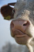 Nase an Nase mit einer Kuh