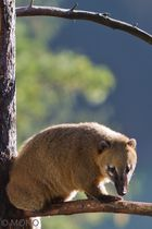 Nasenbär - am Baum