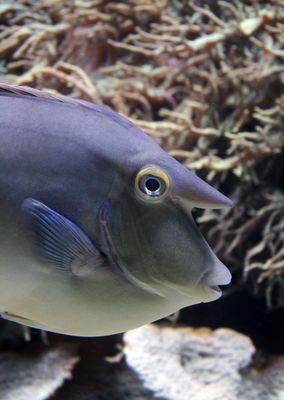 Nasenfisch