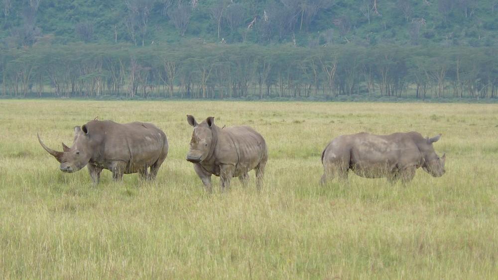 Nashörner am Lake Nakuru