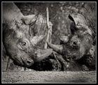 Nashörner im Zürcher Zoo