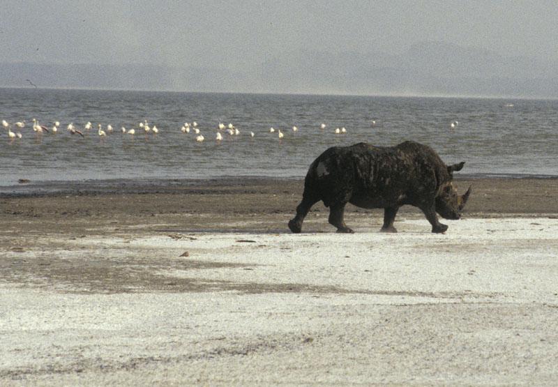 Nashorn am Ufer des Lake Nakuru (Kenia)