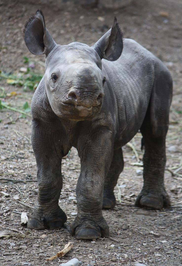 Nashorn-Baby 1