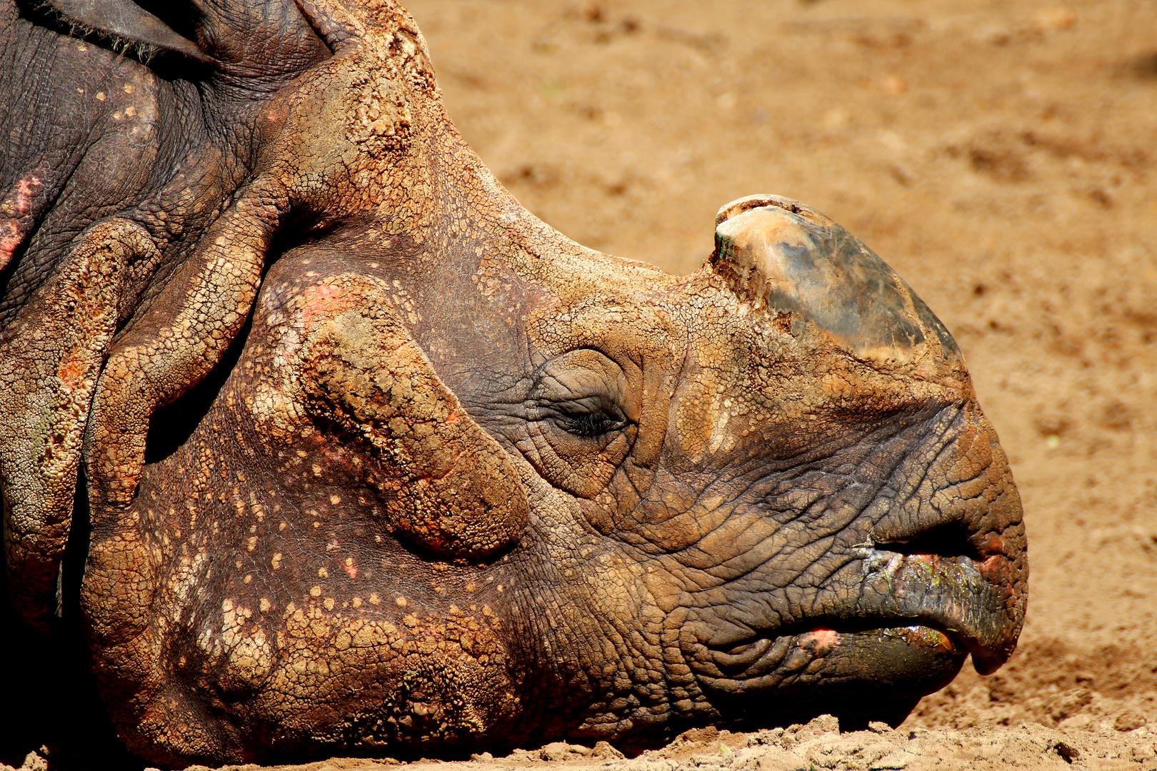 Nashorn beim chillen