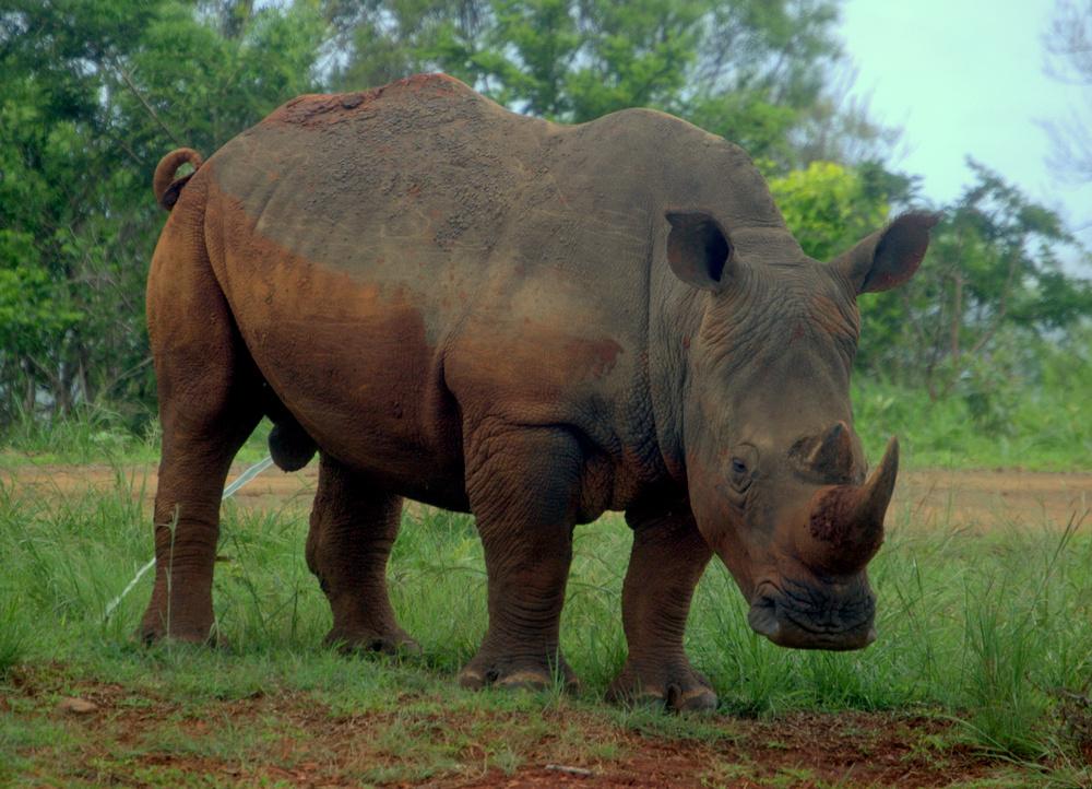 Nashorn ganz nah...im Hluhluwe Wildreservat