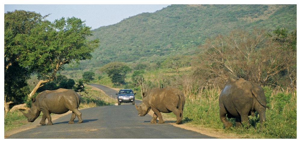 Nashorn hat Vorfahrt