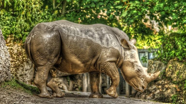Nashorn HDR