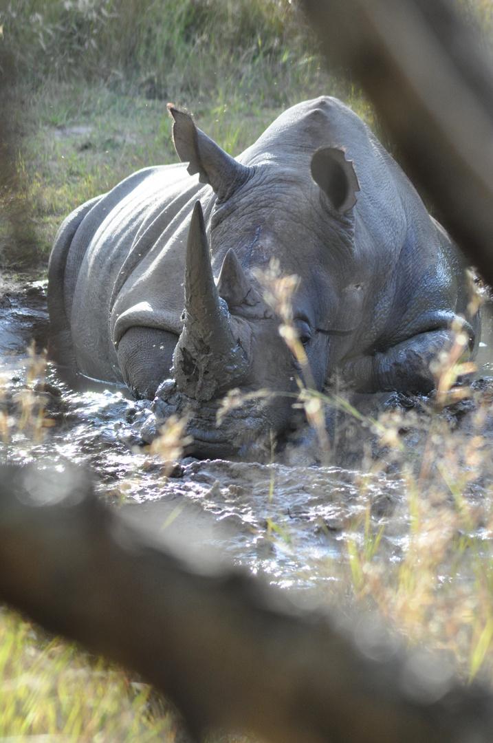 Nashorn im Etoscha NP