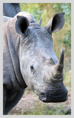 Nashorn im Krüger National Park