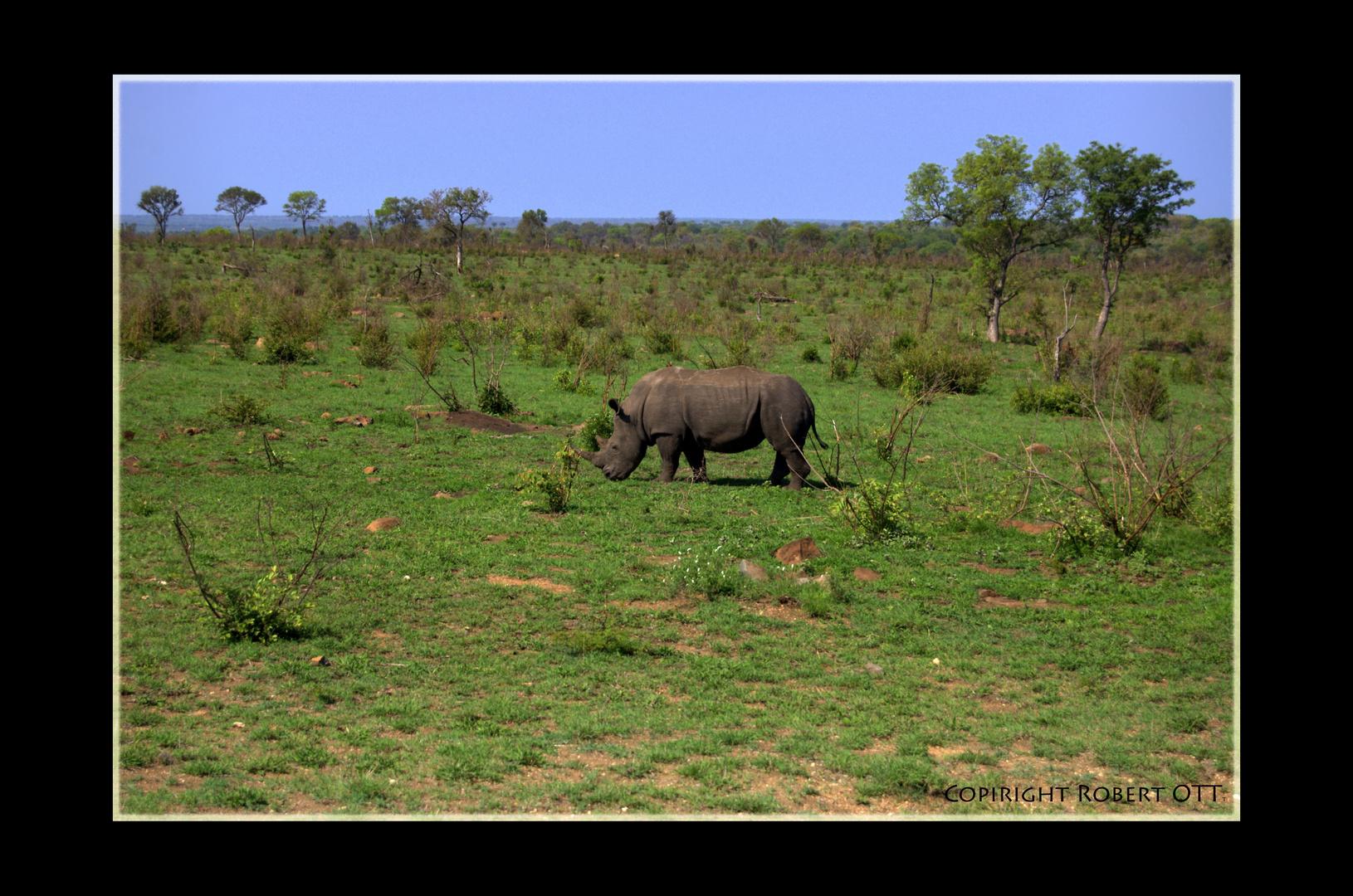 Nashorn im Krüger Nationalpark