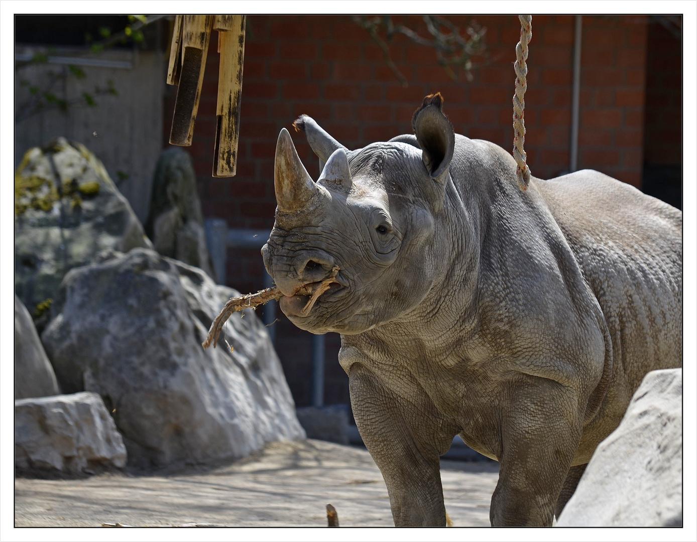 Nashorn im Zoo!