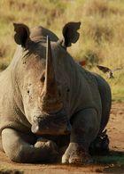 Nashorn kommt in Bewegung